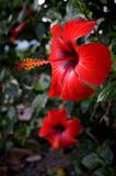 Red hibiscus flowers on a green background stock photo