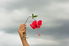 Red hibiscus flowers in hand Stock Images