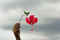 Red hibiscus flowers in hand Royalty Free Stock Photos