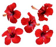 Red hibiscus flowers. Isolated.