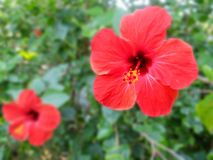 Red Hibiscus Flowers with Leaves, Focus only on The Big Right One Royalty Free Stock Image