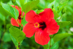 Red hibiscus flowers Royalty Free Stock Photo