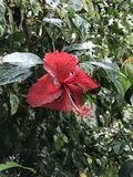 Red Hibiscus flowers. With rain drops on its petals Stock Image