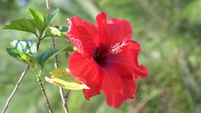 Red hibiscus flowers on tree stock footage