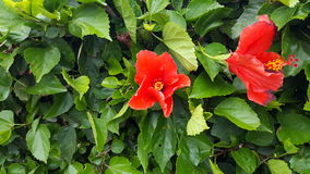 Red hibiscus flowers. Two red hibiscus flowers in bloom Stock Photos