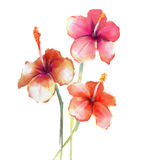 Red Hibiscus flowers watercolor painting Stock Photography