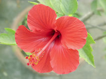 Red Hibiscus. From front view with distinct colour Royalty Free Stock Photo