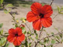 Red hibiscus in full bloom Royalty Free Stock Photo