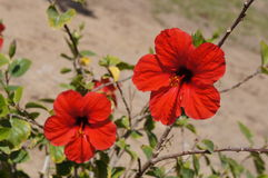 Red hibiscus in full bloom Royalty Free Stock Image