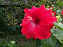 Red hibiscus in garden. Nature stock photo