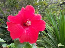 Red hibiscus in garden. Nature royalty free stock photos