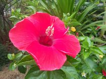 red hibiscus in garden Royalty Free Stock Image