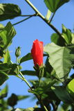 Red Hibiscus. Royalty Free Stock Image