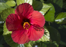 Red Hibiscus Green Foliage Stock Photography