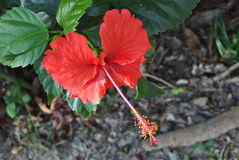 Red hibiscus. From the island of Jamaica stock image