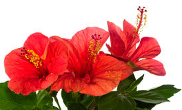 Red hibiscus isolated Royalty Free Stock Images