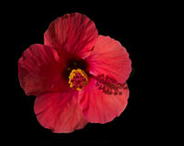 Red hibiscus isolated on black Stock Photo