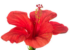 Red hibiscus isolated e background Stock Photography