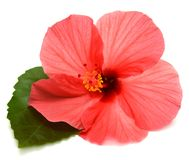 Red hibiscus with leaves Stock Images