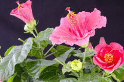 Red Hibiscus. With light green buds Royalty Free Stock Image
