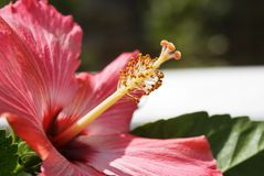 Red Hibiscus/Macro Royalty Free Stock Image
