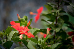 Red Hibiscus or Mar Pacifico Flower Royalty Free Stock Images
