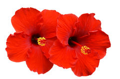 Free Red Hibiscus On White Background Royalty Free Stock Photo - 78490475