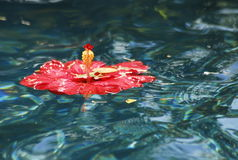 Red Hibiscus in Pool Royalty Free Stock Photo