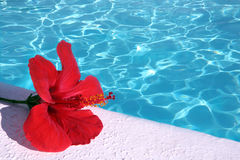 Red hibiscus  By Pool Royalty Free Stock Image