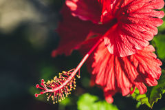 Red hibiscus.  The Red bright fresh hibiscus Royalty Free Stock Image
