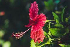 Red hibiscus.  The Red bright fresh hibiscus Royalty Free Stock Photos