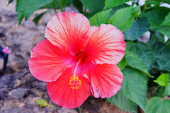 Red Hibiscus rosa-sinensis  flower Stock Photography