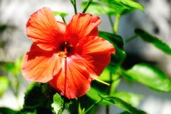 Red hibiscus or Rose of Sharon flower blooming under the sunlight Stock Image