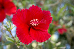 Red hibiscus with serrated velvety petals showing stigma and stamen Stock Photos