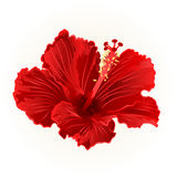 Red hibiscus simple tropical flower  vintage hand draw vector Royalty Free Stock Photo