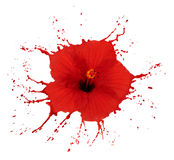 Red hibiscus with splashes Stock Photography