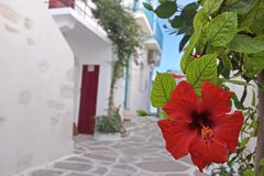 Red hibiscus in a street Stock Images