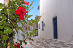 Red hibiscus in a street Stock Photography