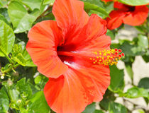 red hibiscus Royalty Free Stock Image