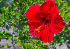 Red hibiscus in sunlight Royalty Free Stock Photography