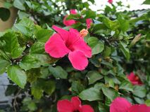Red Hibiscus syriacus royalty free stock photo