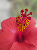 Red Hibiscus. Top with the focus on the yellow pollens Stock Images