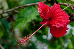 Red hibiscus tropical flower covered in dew rain droplets in bloom.  Stock Photography