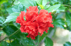 Red hibiscus, tropical flower. Stock Photos
