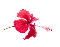 Red Hibiscus,Tropical flower Stock Photo