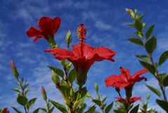 Red Hibiscus tropical flowers Royalty Free Stock Photos