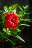 Red Hibiscus Royalty Free Stock Images