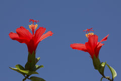 Red Hibiscus. Two red hibiscus flowers opening to the morning sun with a clear blue sky background Royalty Free Stock Image