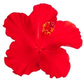 Red hibiscus on white stock images