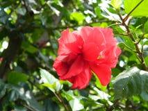 Red Hibisicus stock photo